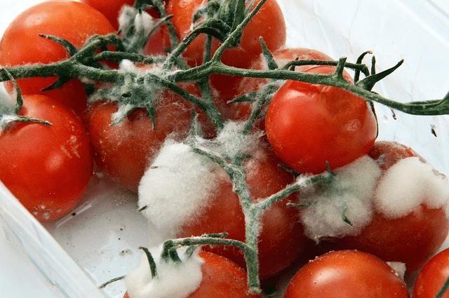 intoxicacao alimentar tomates mofados